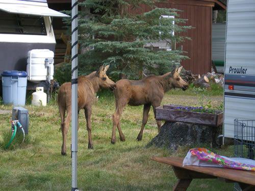Twin Moose calves at Kenai Riverfront