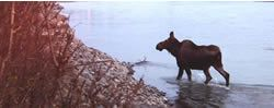 Kenai River Moose