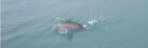 Kenai River fall Rainbow Trout fishing